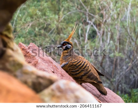 Spinifex pigeon in Kings Canyon, Australia. - stock photo
