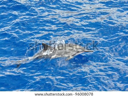 Spinner dolphin near Lanai and Maui islands, Hawaii - stock photo