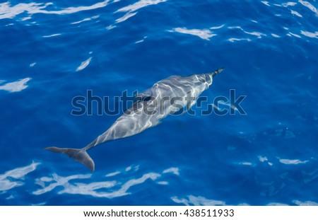 Spinner Dolphin Underwater  - stock photo