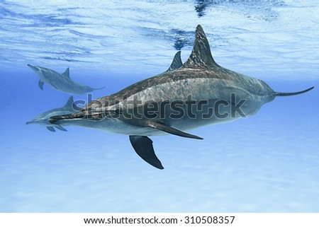 Spinner dolphins in nature.  - stock photo