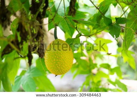 Spiny bitter gourd fruit, Momordica cochinchinensis - stock photo