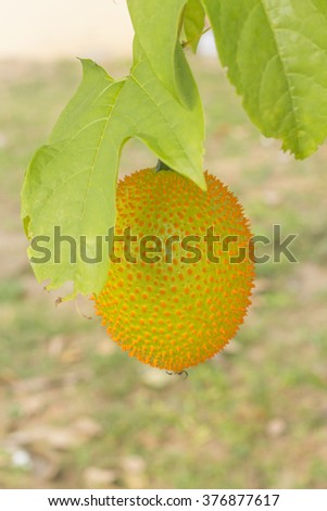 Spiny Bitter Gourd (Momorodica Cochinchinensis) hanging on branches - stock photo