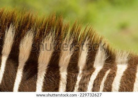 Spiny bristles of a zebra's mane showing the black and white stripes - stock photo