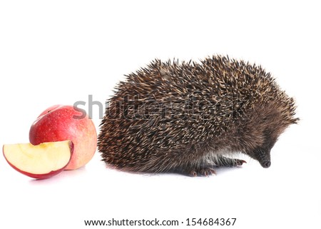 spiny forest hedgehog on a white background - stock photo
