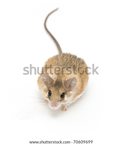spiny mouse isolated on white - stock photo