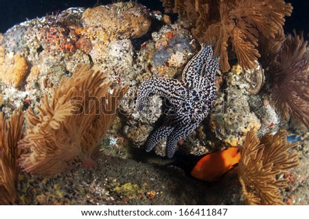 Spiny Sea Star - stock photo