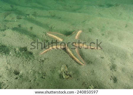 Spiny sea star Astropecten polyacanthus - stock photo