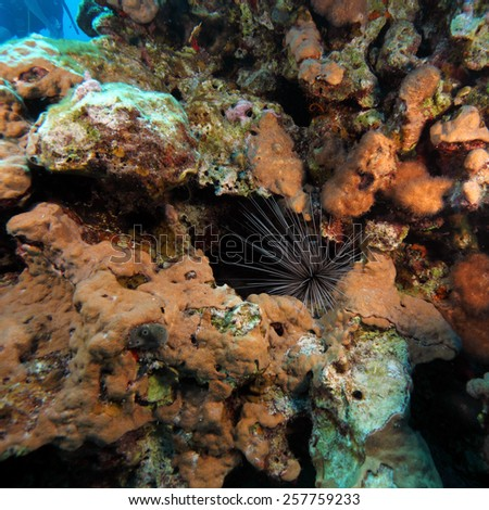 Spiny Sea Urchin at Coral, Caribbean Sea - stock photo