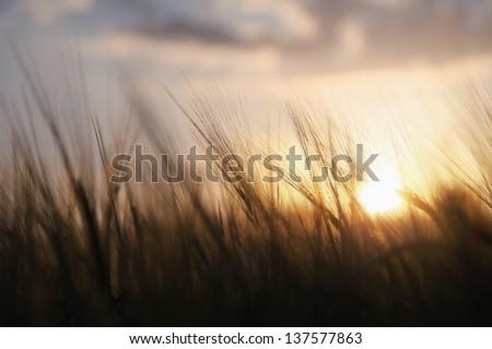 Spiritual golden wheat field with sunset. - stock photo