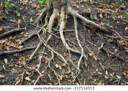 Spiry roots of an old tree in park of city Kislovodsk. Northern foothills of Greater Caucasus