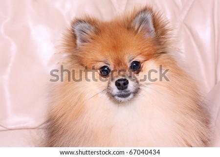 Spitz dog  on a leather sofa - stock photo