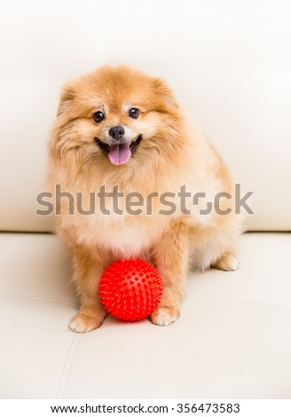 Spitz dog sits next to the ball. - stock photo