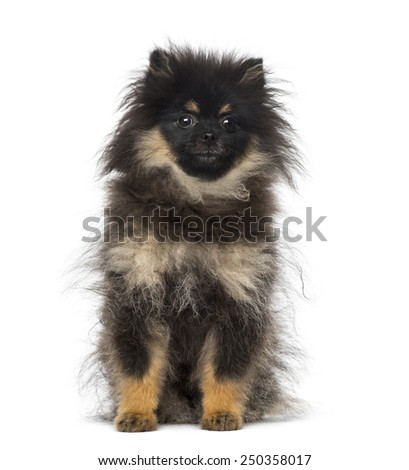 Spitz (5 months old) - stock photo