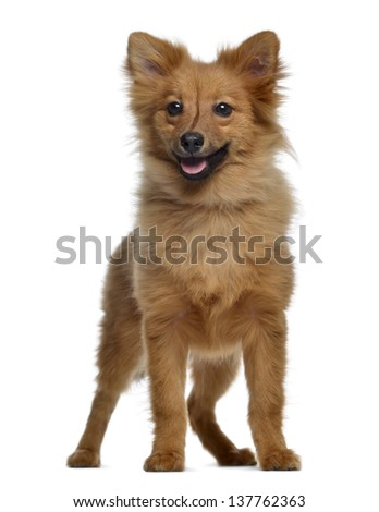 Spitz, 5 months old, standing and panting, isolated on white - stock photo