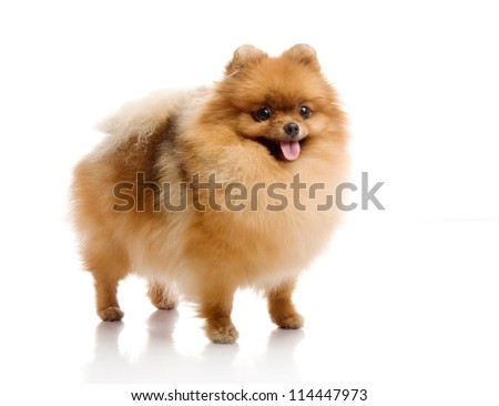 spitz, Pomeranian dog on white background, studio shot - stock photo
