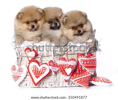 spitz puppies  - stock photo