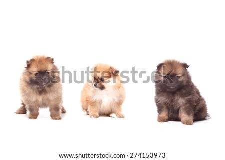 Spitz puppies on white background. Funny little puppy spitz. Spitz puppy on white background, pomeranian puppy the age of 2 month - stock photo