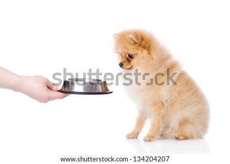 spitz puppy begging for food. isolated on white background - stock photo
