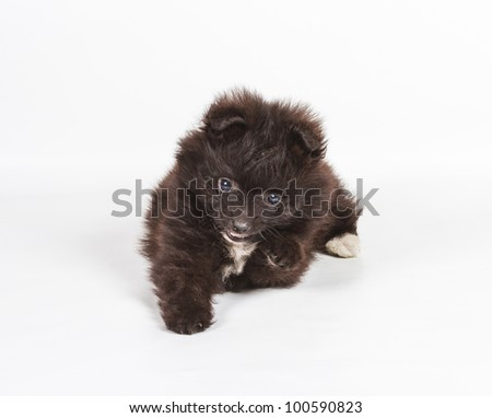 Spitz puppy in front of white background . Pomeranian dog isolated on a white background - stock photo
