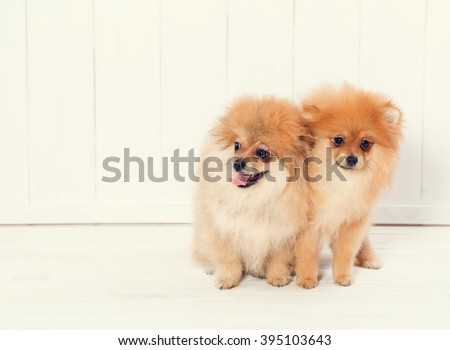Spitz puppy. Make a choice. Choosing a puppy. Spitz puppy on a white wooden background. Small dog puppies. - stock photo