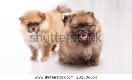 Spitz puppy. Pomeranian Spitz Puppies 1 month (one) on a white background. Spitz puppies. Spitz puppies, one month old, sitting in front of white background - stock photo