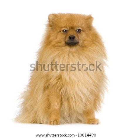 Spitz (3 years) in front of white background - stock photo