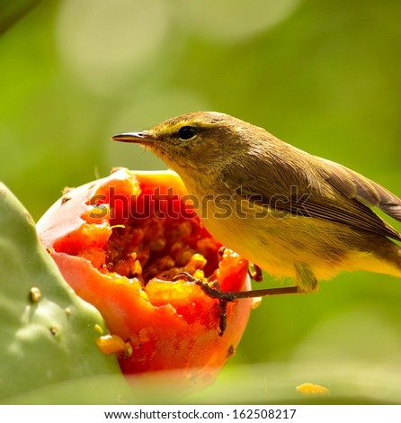Splendid closeup of bird phylloscopus canariensis on a juicy ripe prickly pear and observing the surroundings before eating exquisite fresh pulp of  sweet fruit, on  unfocused natural green background - stock photo