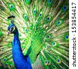 Splendid peacock with feathers out (Pavo cristatus) (shallow DOF; color toned image) - stock photo