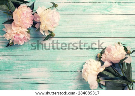 Splendid  white  pink  peonies flowers on turquoise painted wooden planks. Selective focus. Place for text. Toned image. - stock photo