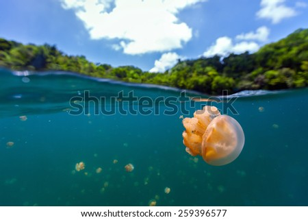 Split photo of endemic golden jellyfish in lake at the Republic of Palau. Snorkeling in Jellyfish Lake is a popular activity for tourists to Palau. - stock photo