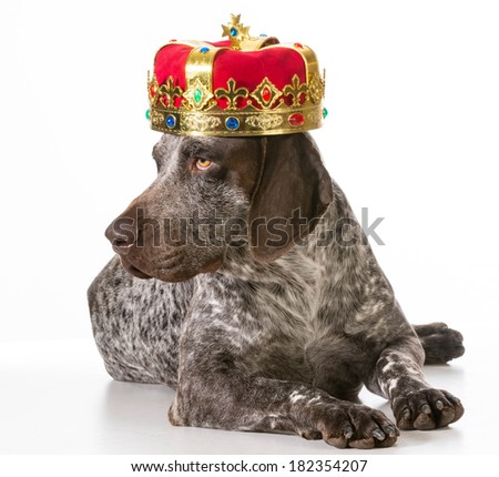 spoiled dog - german shorthaired pointer wearing king crown isolated on white background - stock photo