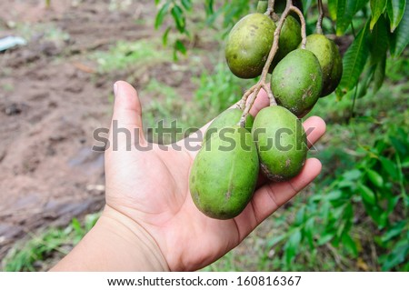 Spondias pinnata (L.f.) Kurz. Anarcardiaceae.Hog Plum, on hand - stock photo