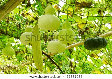 Sponge gourd, pumpkin and bottle gourd hanging on vine in vegetable - stock photo