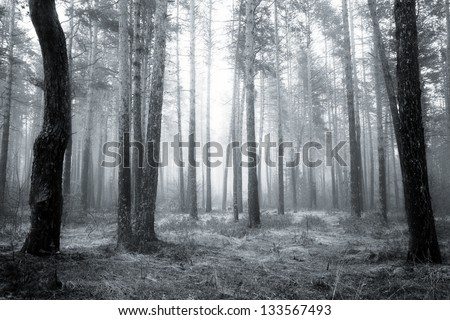 spooky abstract black and white fogy forest in spring sunrise - stock photo