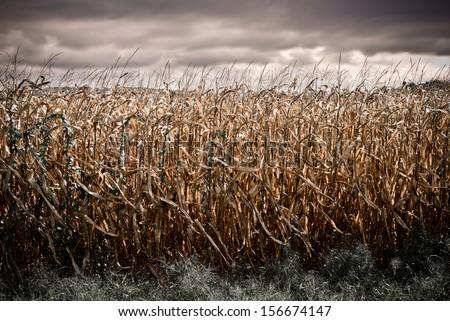 Spooky Dark Corn Field - stock photo