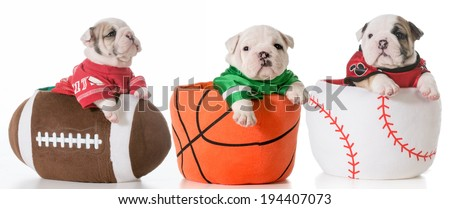 sports hounds - bulldog puppies sitting in sports balls - stock photo