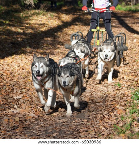 Sports with dogs. Dog-carting team. Dryland - stock photo