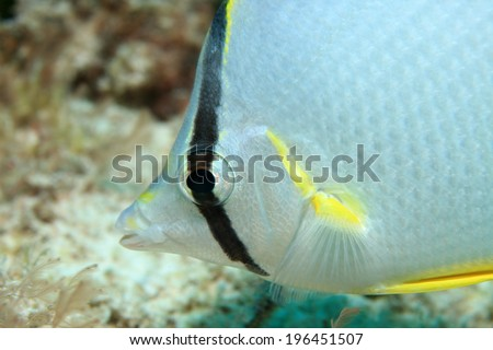 Spotfin butterflyfish (Chaetodon ocellatus) in the coral reef of the caribbean sea - stock photo