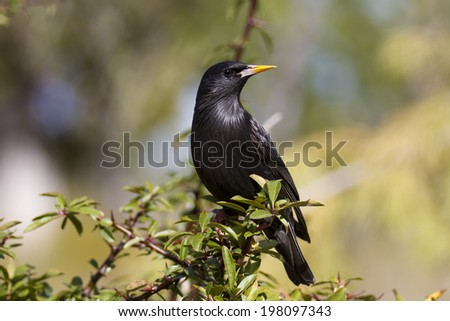 Spotless Starling Sturnus unicolor - stock photo