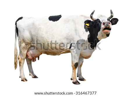 Spotted black and white cow full length isolated on white/Cow/ Spotted black and white cow full length isolated on white - stock photo