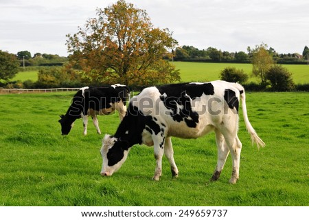 Spotted Black and White Holstein Cattle Grazing in a Green Field - stock photo