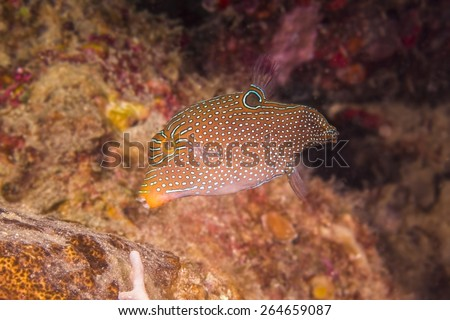 Spotted box fish in coral reel / Coron , Palawan - stock photo