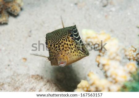 Spotted Boxfish _ Ostracion cubicus - stock photo