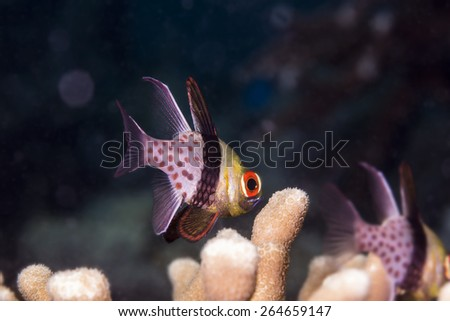 Spotted cardinal fish in coral reel / Coron , Palawan - stock photo
