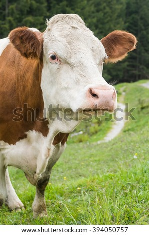Spotted cow grazing in the grren grass mountain pasture of the austrian alps - stock photo