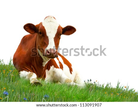 Spotted cow on meadow isolated on white - stock photo