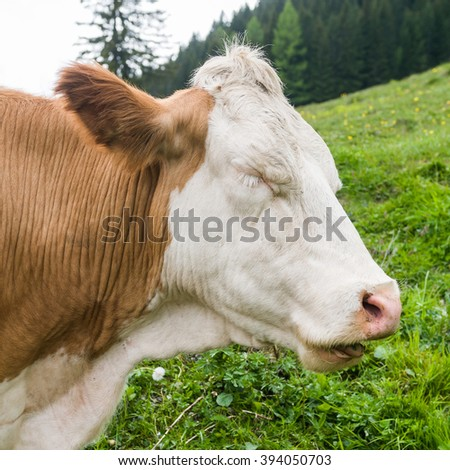 Spotted cow portrait while grazing in the grren grass mountain pasture of the austrian alps - stock photo