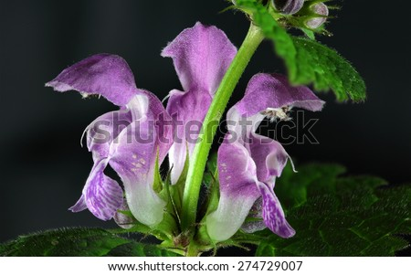 Spotted Deadnettle (Lamium maculatum) flowers. - stock photo