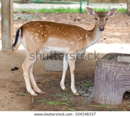Spotted deer chital native of Indian - stock photo