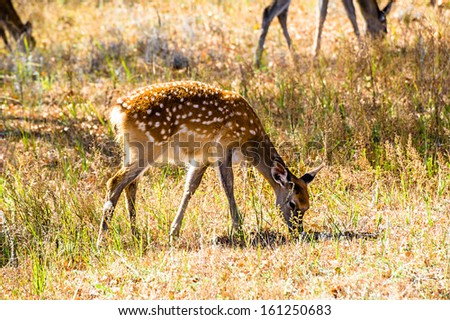 Spotted deers are eating grass on the grassland - stock photo